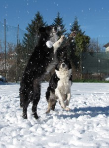 Border Collie vuol dire divertimento!