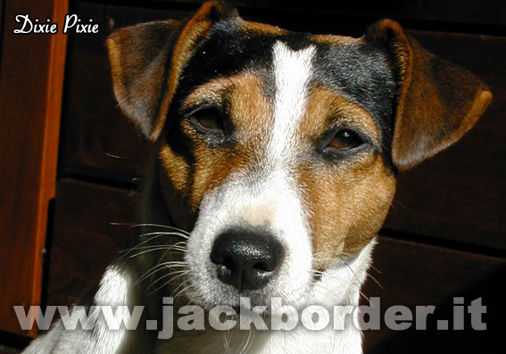 Dixie Pixie - Jack Russell Terrier femmina tricolore